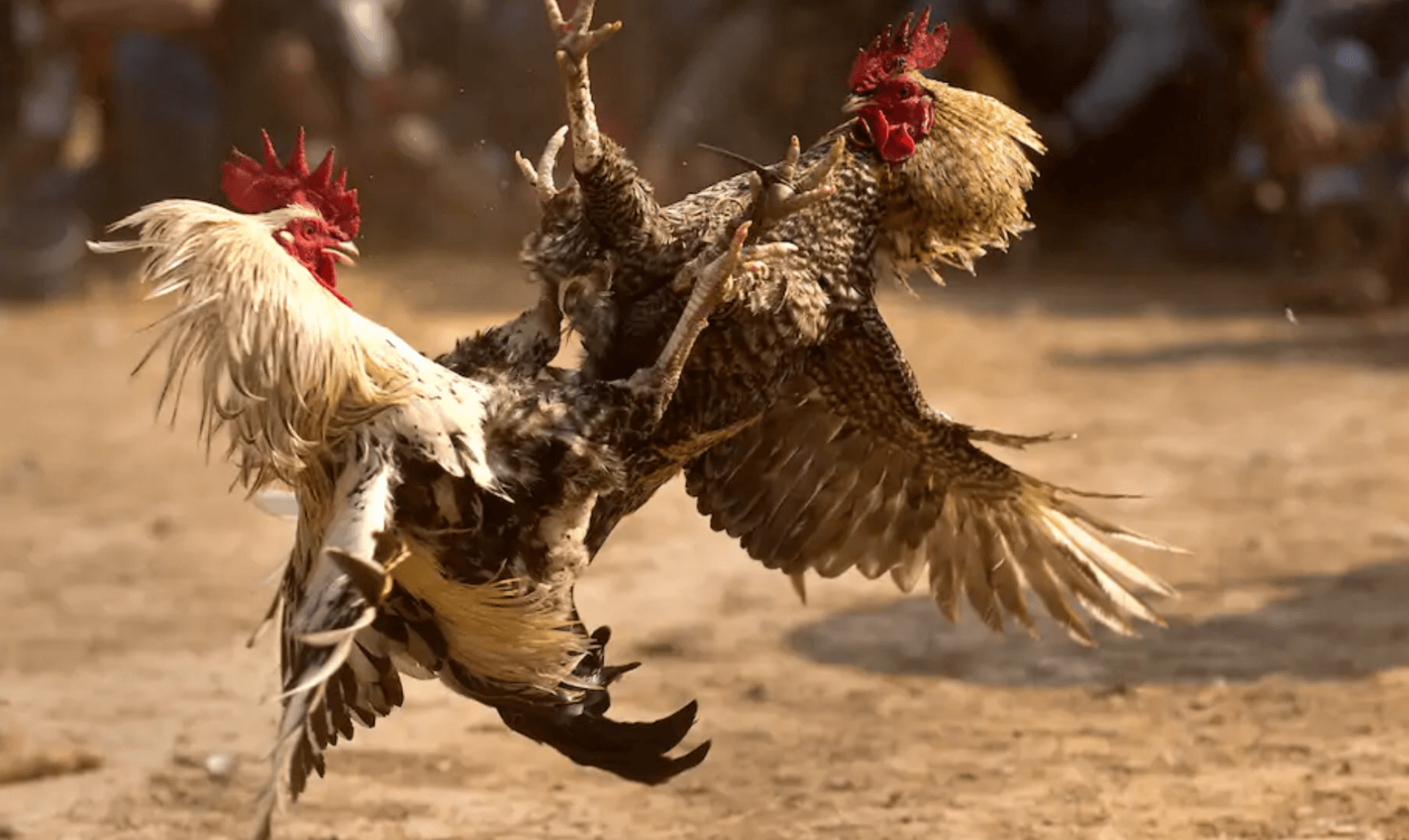 a-billion-dollar-market-cockfighting-the-philippines-national-pastime-to-be-taxed